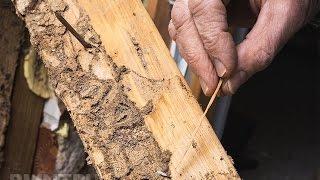 жуки точильщики древесины Киров