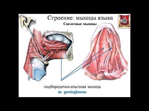 Анатомия языка