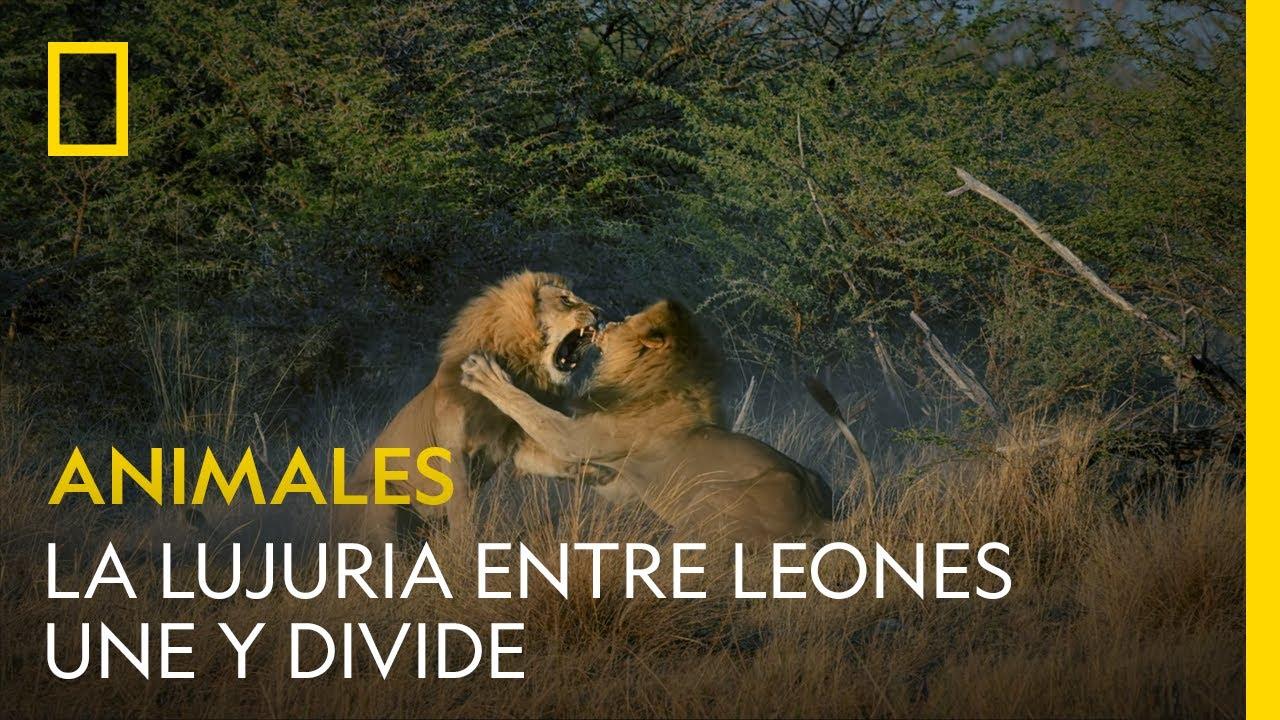 La lujuria une y divide: estos leones hermanos pelean por amor | NATIONAL GEOGRAPHIC ESPAÑA