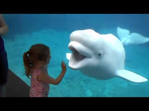 Funny Beluga Whale And Little Girl