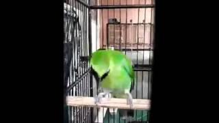 Aksi Kicau Burung Cucak Hijau Juara Super Gacor