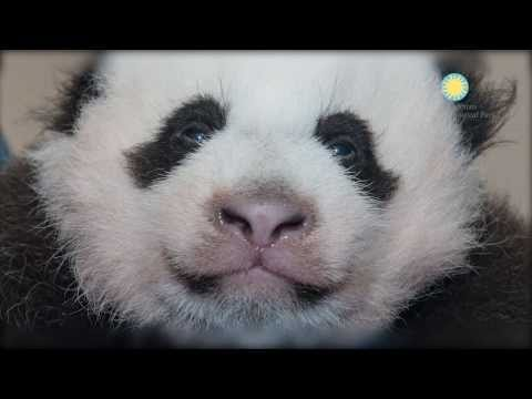 Help Us Name Our Giant Panda Cub at the Smithsonian