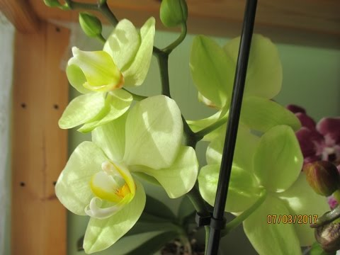 Новая салатовая орхидея :-)