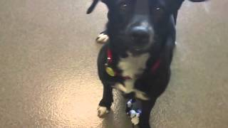 Suzie, A 1-year-old Female Labrador Retriever Mix Available At The Wisconsin Humane Society