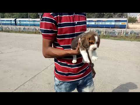 Beagle puppy for sale in indore male rs 19000 n female rs 16000 show quality breed call 9671116765