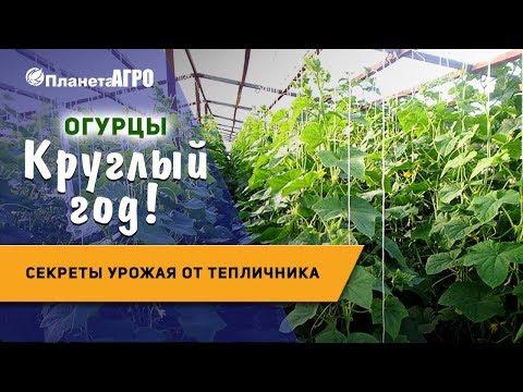 🥒 Выращивание огурцов в теплице 🌿 секреты урожая от тепличника