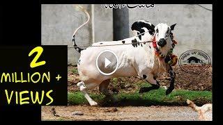 Dabba Beauty Of Mani Cattle Farm || MASHALLAH || Sale Collection 2018
