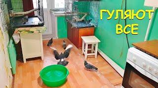 Целая комната голубей. Кабачки вышли на прогулку