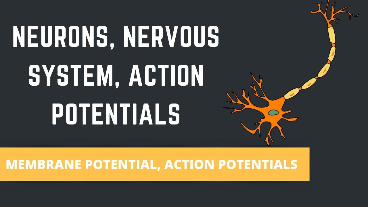 Download NEURONS , NERVOUS SYSTEM , ACTION POTENTIALS