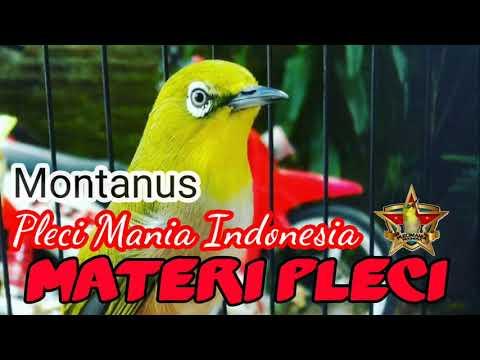 Pleci Montanus Daput Maput (monty) Masteran