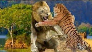 من الأقوى الأسد أم النمر ! الإجابه الحاسمه !  والنتيجة صادمه ؟