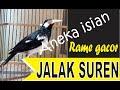 Jalak Suren Gacor Cukup  Menit Saja Jalak Suren Bakal Nyaut Dan Ikutan Gacor Boleh Di Coba  Mp3 - Mp4 Download