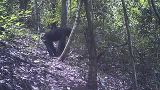 Video Issa Valley chimpanzees traveling through the forest (western Tanzania) download MP3, 3GP, MP4, WEBM, AVI, FLV November 2017