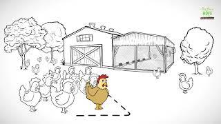 Eierhöfe: die Haltungsformen der Legehennen