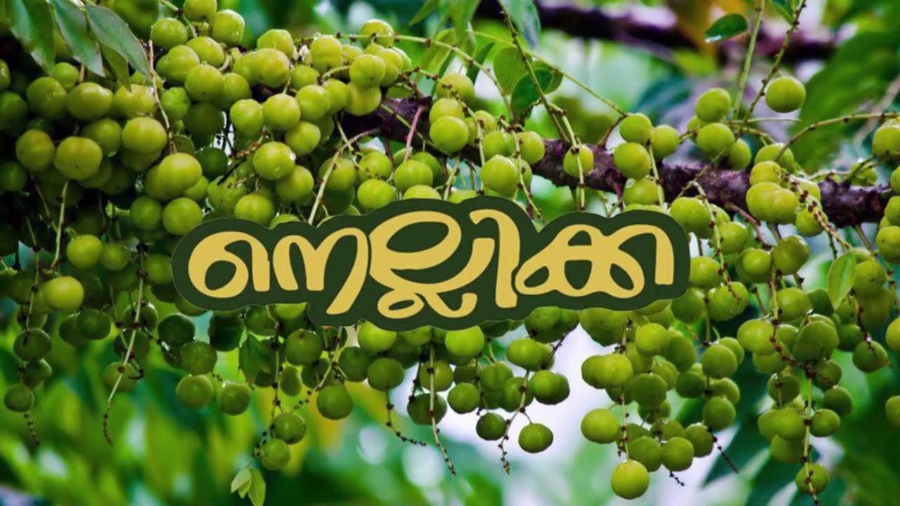 Download NELLIKKA SHORT FILM - CONVOCATION 2K17 Pushpagiri Medical College