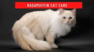 How to take care of a ragamuffin cat updated 2021