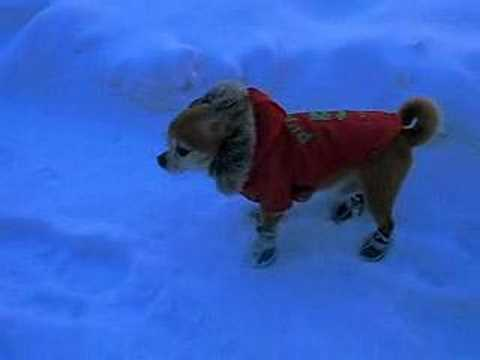 Chihuahua in new snow boots - YouTube a73997b54098
