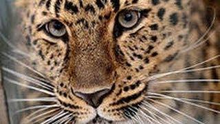 Дай лапку, киса. Амурский леопард!