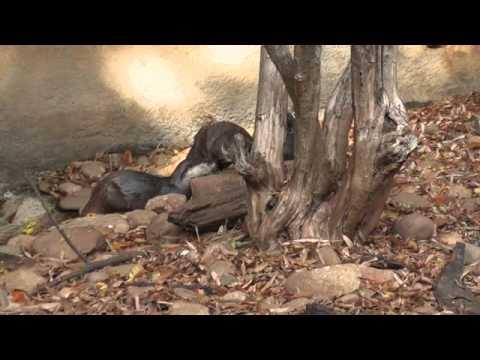 Otter Mating