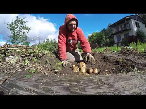 Сорт-Американка.Урожай картофеля с сотки земли.Посадка по Митлайдеру. 2 мешка картошки с 10 метров.