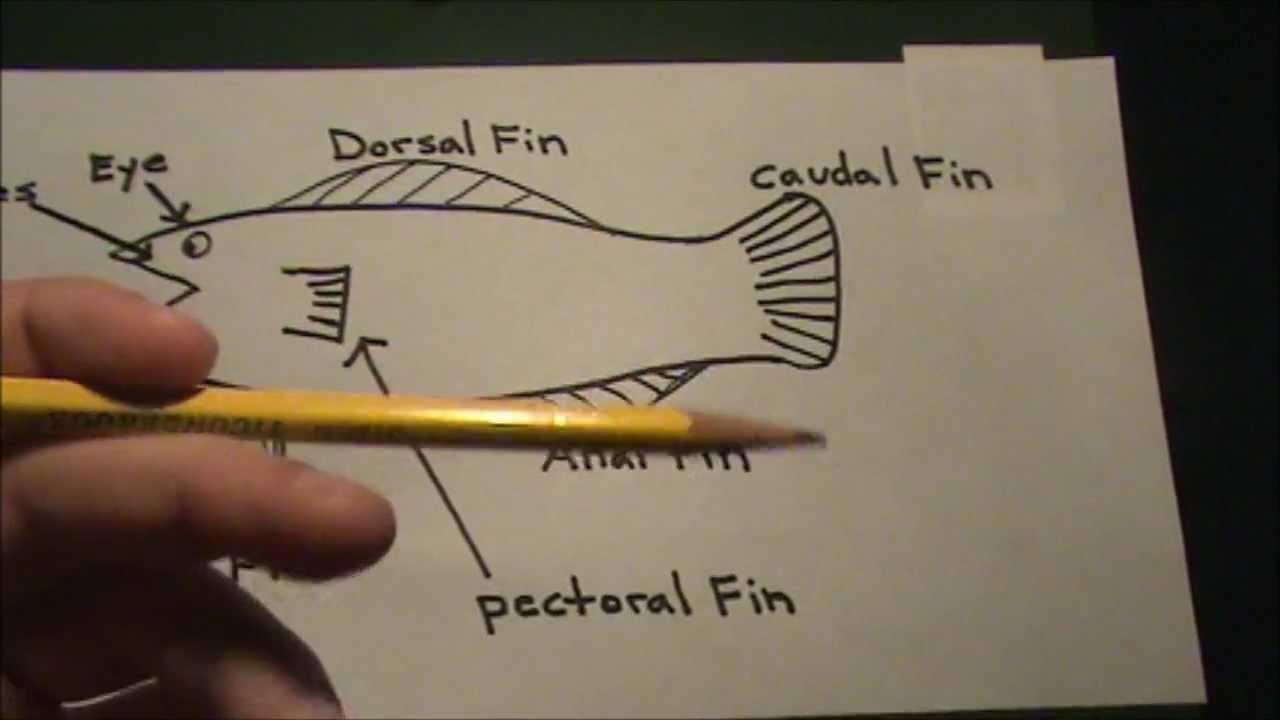 medium resolution of anatomy of a fish