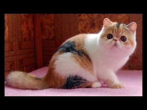 Photos of my cat breed Exotic Shorthair