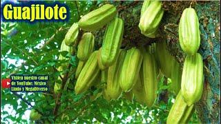 Cortando GUAJILOTE y otras frutas en la Mixteca Baja Oaxaqueña 🌳 🍆