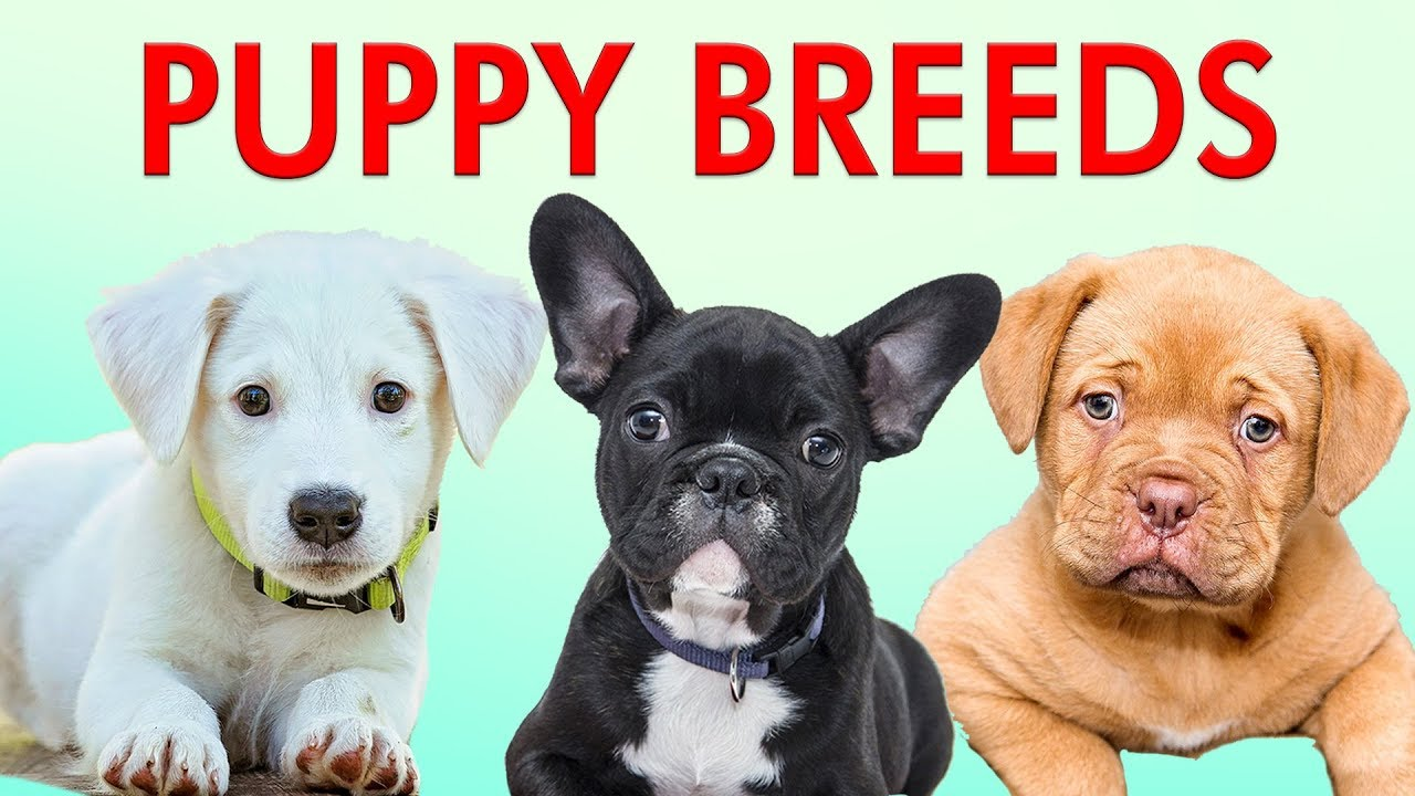 PUPPY BREEDS 101 - Learn Different Breeds of Puppies | Breeds of Dogs -  YouTube