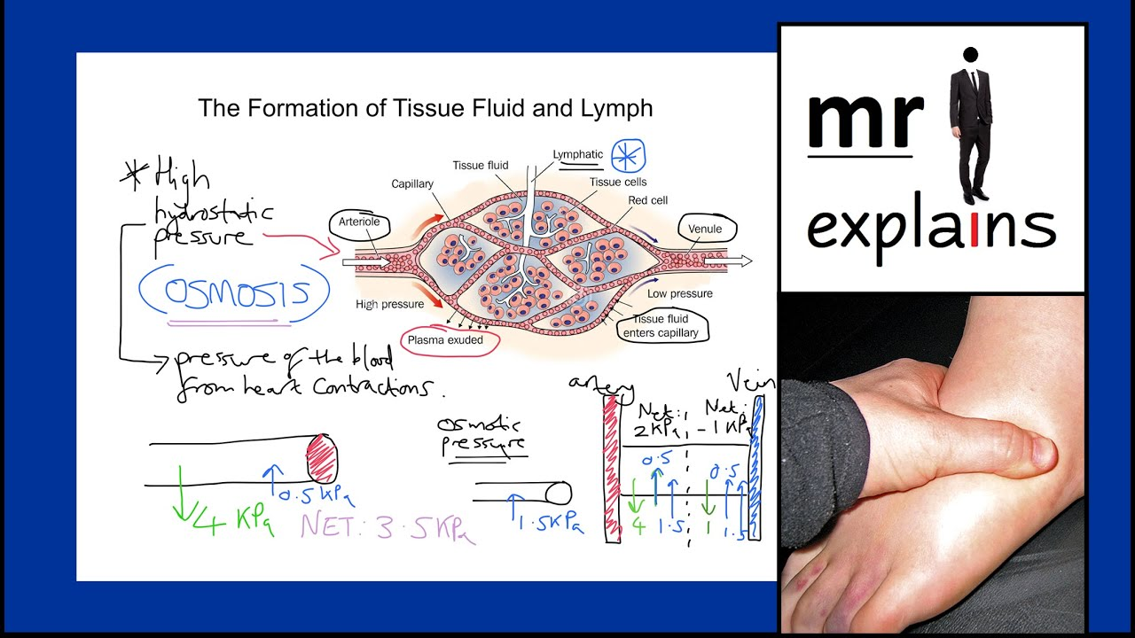 How tissue fluid and lymph is formed: mechanisms 29