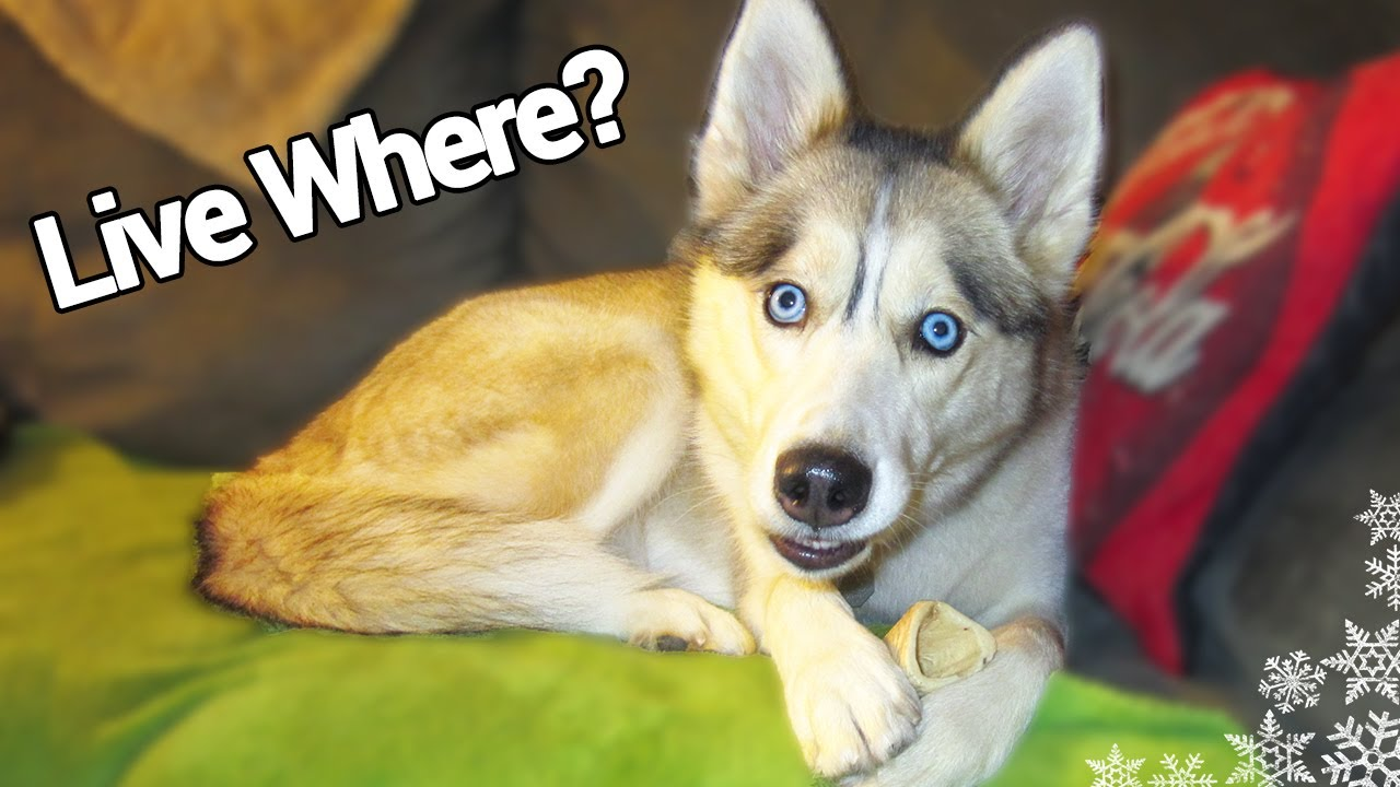 Can A Husky Live In An Apartment Last Video Of The Year Fan Friday 36
