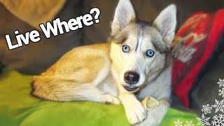 Can A Husky Live In An Apartment? Last Video Of The Year! - Fan Friday #36