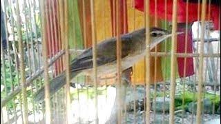 Sikatan Londo Suara Jernih Cocok Untuk Isian Burung Kicau