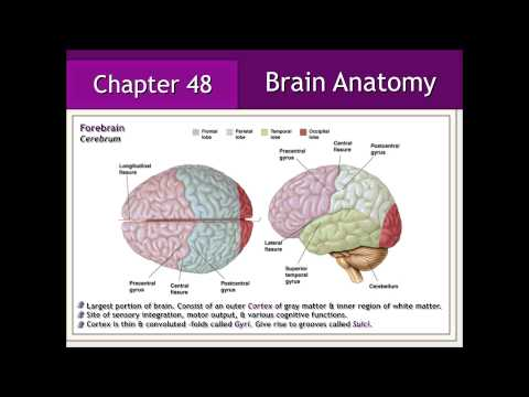 Nervous System: Brain Anatomy & Physiology