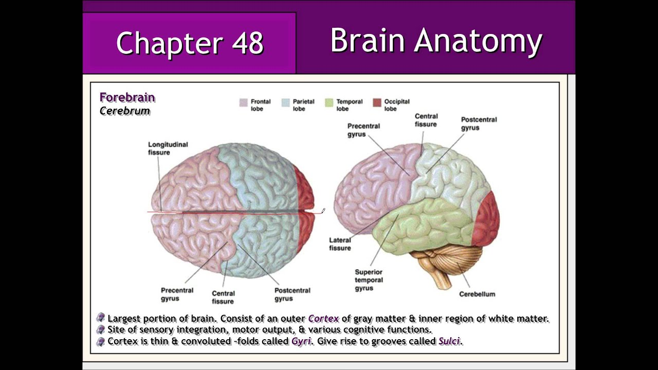Nervous System: Brain Anatomy & Physiology - YouTube