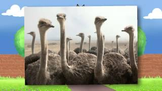 Узнать - Страус - крупнейшая птица на планете - для детей - исследование - школа