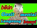 Suara Perkutut Lokal Bikin Rese Bunyi  Mp3 - Mp4 Download