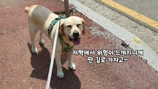How Cowardly Labrador Retriever passes scary things while wakling on the street