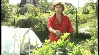 Уход за комнатными растениями: санаторий на даче. Урожайные грядки.(Летом мои комнатные растения, которые расположены по экватору и в субтропиках, живут в саду. В начале лета,..., 2016-03-03T09:41:08.000Z)