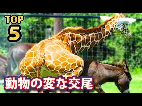 変わった交尾をする動物たちTOP5ランキング!愛と平和の猿ボノボは争わずS●Xしまくる?