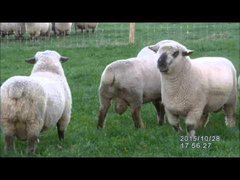 Hampshire Down Stock Rams 2015