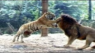 Download Lion Vs Tiger Real Fight to Death New Original Video HD Mp3 and Videos