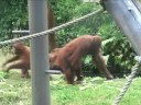 Hilarious Animal Video - baby Orangutan tries to escape from its mother