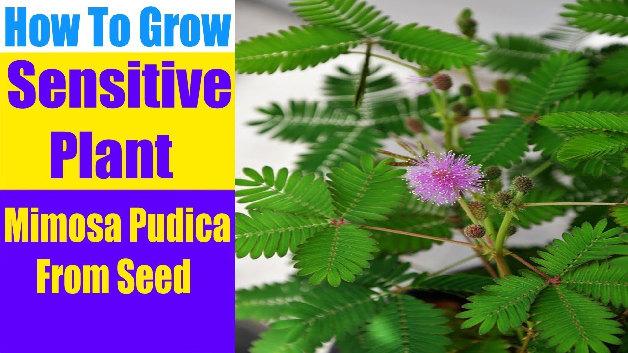 How To Grow A Sensitive Plant mimosa Pudica From Seed