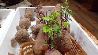 고구마싹 집에서 쉽게 싹내서 심는 방법