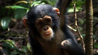 'Chimpanzee' Trailer HD