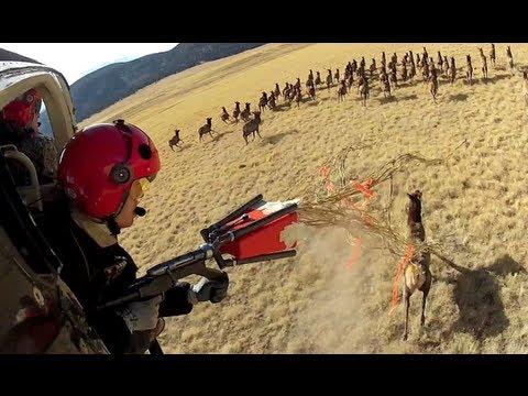 Helicopter Elk Capture