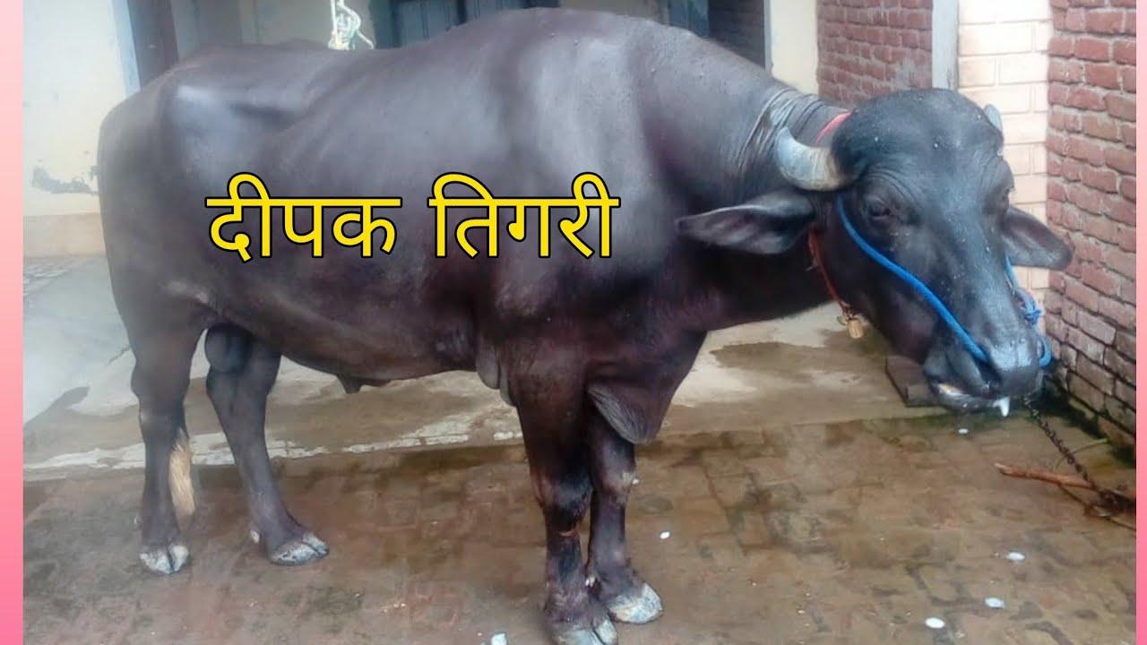 Deepak Tigri Jhota Race   New Jhota Race   Jhota Race 2021