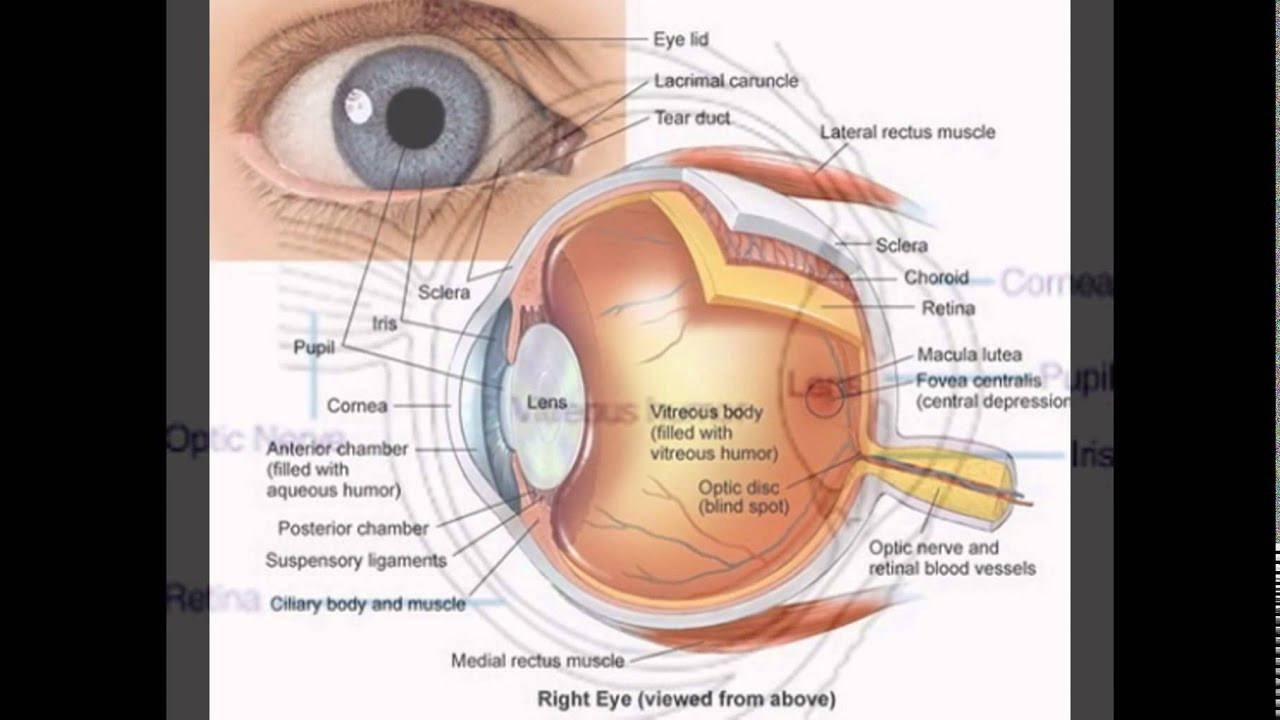 Lateral Eye Diagram - Wiring Diagram & Electricity Basics 101 •