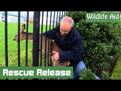 Wildlife Rescue - Feisty Deer Stuck Fast in Fence