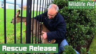 Wildlife Rescue - Feisty Deer Stuck Fast in Fence
